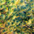 Pine tree texture square photography Royalty Free Stock Photography