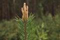 Pine tree top Royalty Free Stock Photo