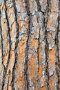 Pine tree trink closeup Stock Image