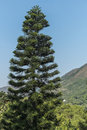 Pine tree under blue sky Stock Photography