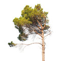 Pine tree on white isolated Royalty Free Stock Photo