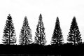 Pine Trees Stock Photography