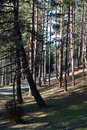 Pine trees alley Stock Photography