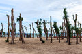 Pine trees on the beach was pruned in garden at phla rayong thailand Stock Photography