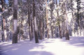 Pine Trees Covered in Snow Stock Images
