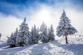 Pine trees covered in snow Royalty Free Stock Photo
