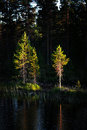 Pine trees in evening light scandinavian lake with reflection of small tree Royalty Free Stock Image