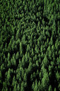 Pine Trees in Forest Wilderness for Conservation