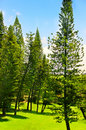 Pine trees forrest Stock Photo