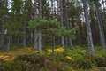 Pine trees in Glenmore Forest Scotland Royalty Free Stock Photo
