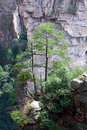 Pine trees grows mountain peak zhangjiajie mountain Stock Photography