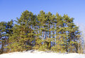 Pine trees on a hill in winter with blue sky background Royalty Free Stock Images