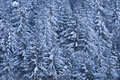 Pine trees laden with snow Royalty Free Stock Images