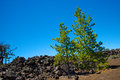 Pine Trees in Lava Field Royalty Free Stock Photo