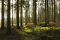 Pine trees and light sunlight streaming through tall in a surrey forest england uk Stock Image