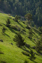 Pine trees on mountain slope. Royalty Free Stock Photo