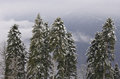 Pine trees in mountains caucasian at winter Stock Image