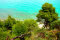 Pine trees near the sea Stock Photography