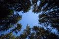 Pine trees night sky stars from beneath