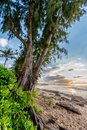Pine trees, palm trees and tropical vegetation at sunset on Sunset Beach in Hawaii Royalty Free Stock Photo
