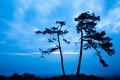 Pine trees in silhouette at sunrise Stock Photo