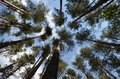 Pine trees stretching to the sky into view from ground Royalty Free Stock Images