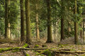 Pine trees in surrey forest england uk Royalty Free Stock Photo