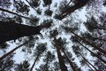 Pine trunks bottom view. Pine trees silhouettes bottom view. Winter forest landscape. Royalty Free Stock Photo