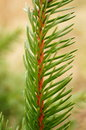 Pine twig green tree Royalty Free Stock Image