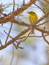 Pine warbler setophaga pinus sitting in a white Royalty Free Stock Photography