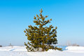 Pine on winter field Royalty Free Stock Photography