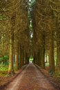 Pine wood and vanishing road with lone person Stock Photography