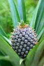 Pineapple Στοκ Εικόνα