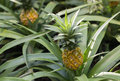 Pineapple, Ananas comosus, growing on plant Royalty Free Stock Photo