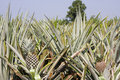 Pineapple farm Stock Photos
