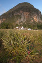 Pineapple field in cuba cuban village vinales Stock Photos