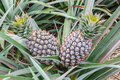 Pineapple fruit farm growing Royalty Free Stock Photo