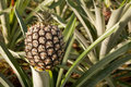 Pineapple growing Stock Photos