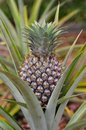 stock image of  A pineapple growing naturallly