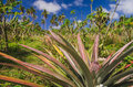 Pineapple growing at the plantation Royalty Free Stock Photo