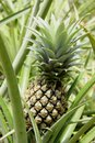 Pineapple plant a at a farm on the island of moorea french polynesia Royalty Free Stock Image