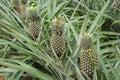 Pineapple plant field