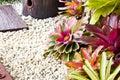 Pineapple plant neoregelia spectabilis hybrid Stock Photo