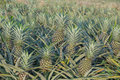 Pineapple plant, tropical fruit growing in a farm Royalty Free Stock Photo