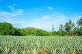 Pineapple plantation. Royalty Free Stock Photo
