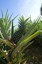 Pineapple on plantation Royalty Free Stock Photo