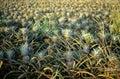 Pineapple plantation on the island of Oahu, Hawaii Royalty Free Stock Photo