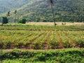 Pineapple plantation in prachuap khirikhan province thailand Royalty Free Stock Image