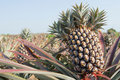 Pineapple, tropical fruit Stock Image