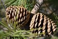 Pinecone on Big Pocono Royalty Free Stock Photo